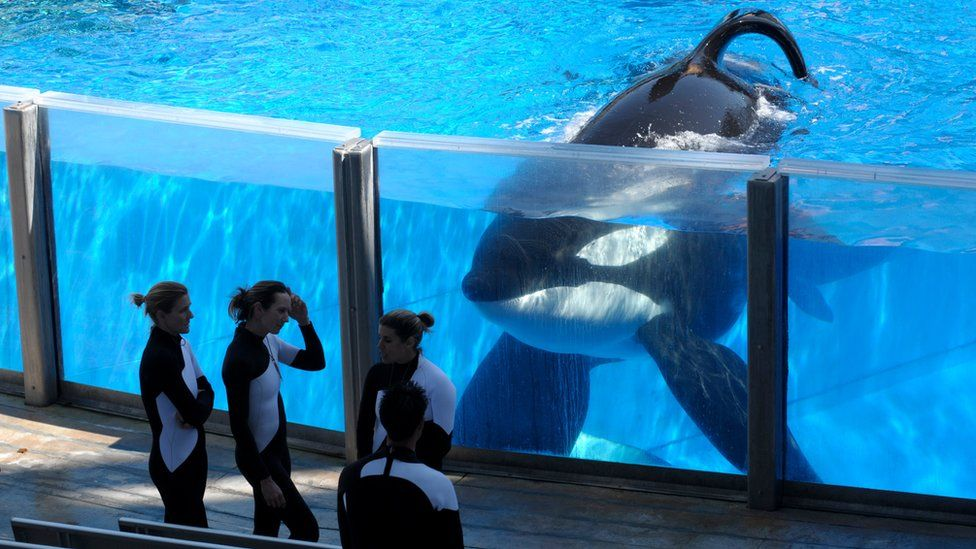 Tilikum, an orca, watching trainers at SeaWorld Orlando in Florida