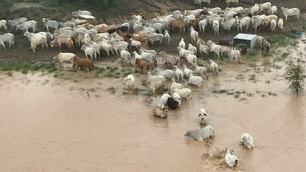 Stranded cows surrounded by floodwater at Cowan Downs Station in Queensland