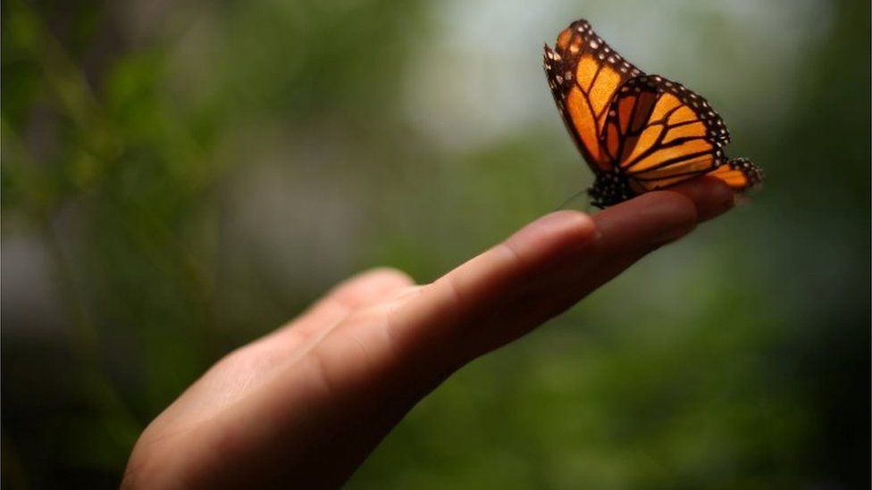 A Monarch butterfly rests on a visitor's hand during the official Inauguration of the month of the Monarch butterfly at Chapultepec Zoo in Mexico City, Mexico, April 6, 2017