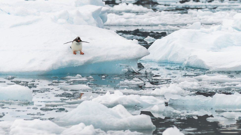 A Gentoo penguin gets ready to dive off the ice into the water in Antarctica