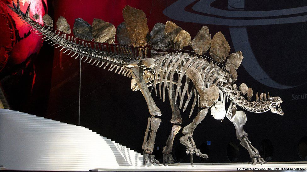Sophie Stegosaurus Skeleton