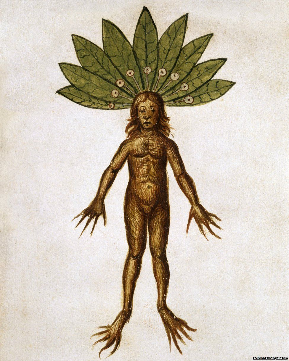 Mandrake - illustration from a copy of 'De Materia Medica' by the Greek physician Dioscorides made in 1460