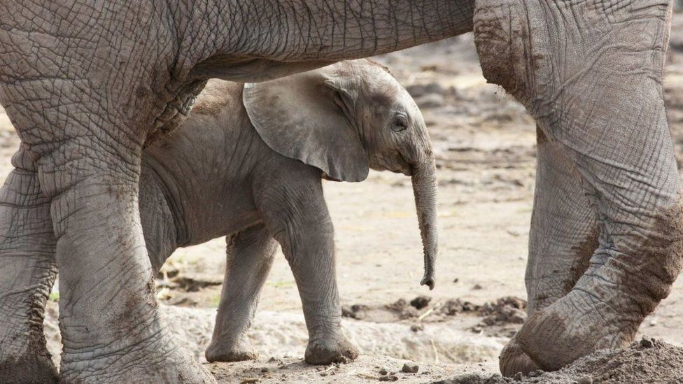A baby elephant of the endagered Loxodonta africana species