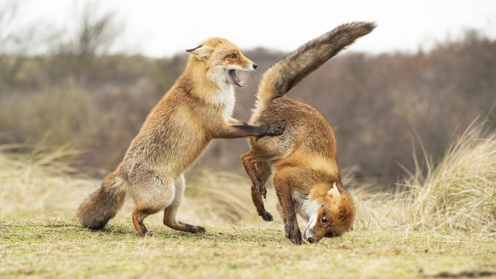 Two fox cubs dancing