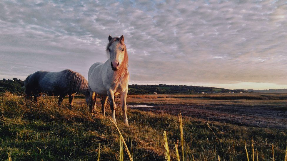 Wild horses on Gower