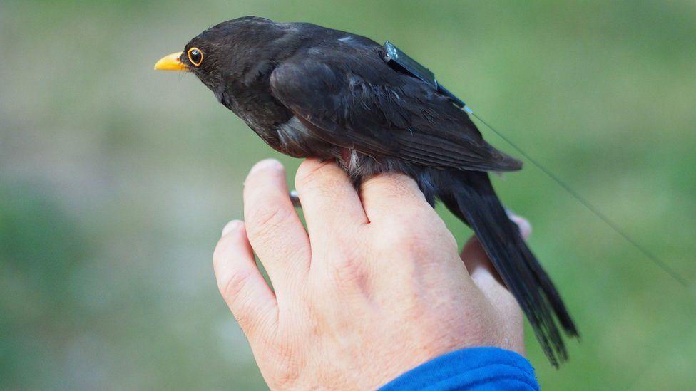 Blackbird with tag