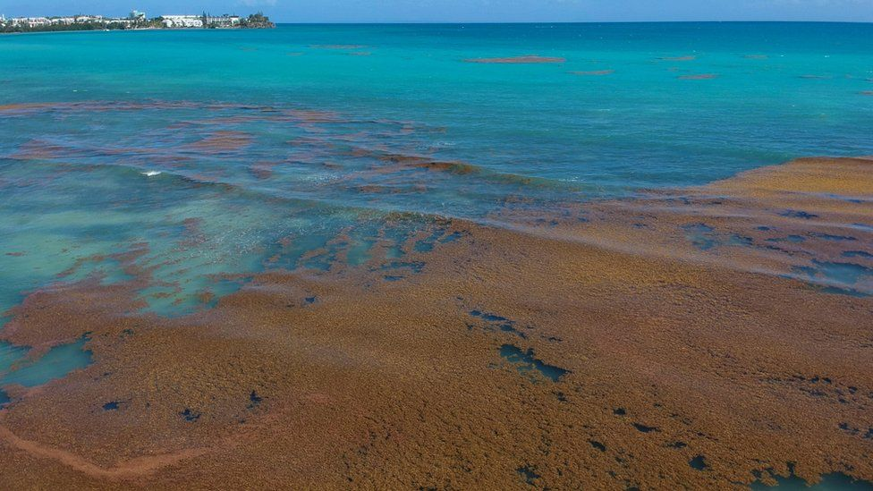 Sargassum: The seaweed deluge hitting Caribbean shores - BBC News