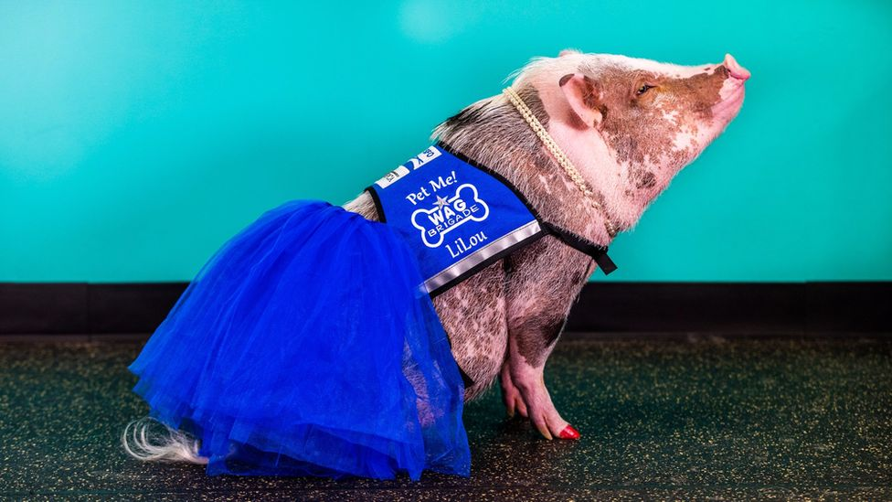 Lilou the airport's therapy pig