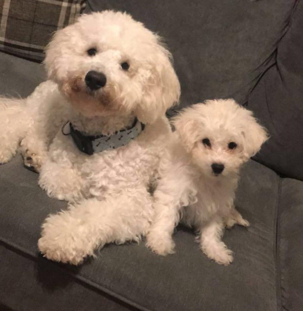 """Two """"poshos"""" - poodle crossed with bichon frise - one adult, one a puppy"""