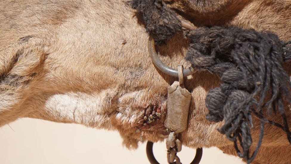 Tan camel at Petra with flies on wounds
