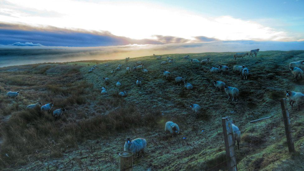 Sheep grazing on the Durham Dales in County Durham