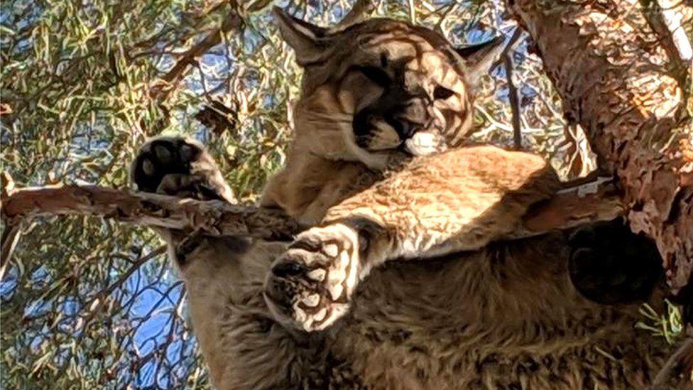 Bombeiros 'resgatam' leão da montanha do topo de árvore na Califórnia