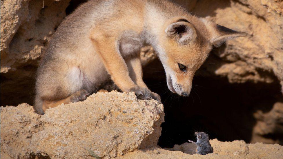 Uma raposa encarando um rato
