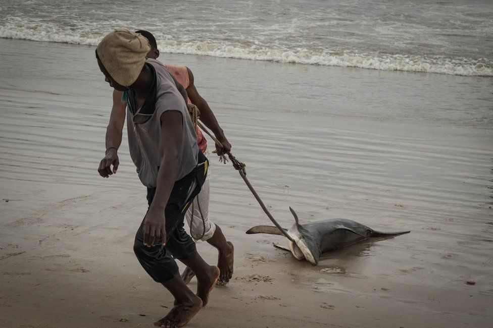 Fishermen dragging a shark