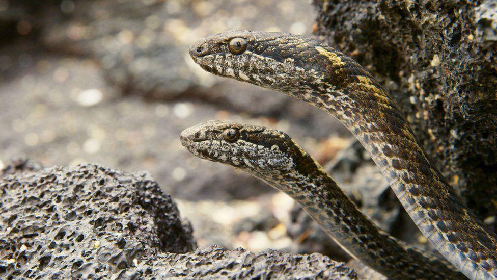 Racer snakes on Planet Earth II
