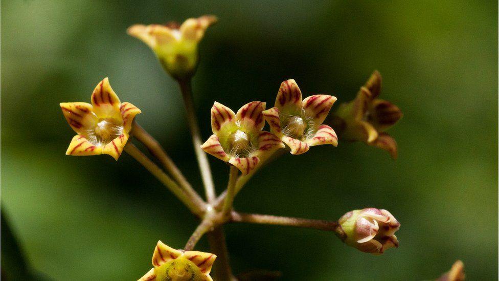 Marsdenia chirindensis