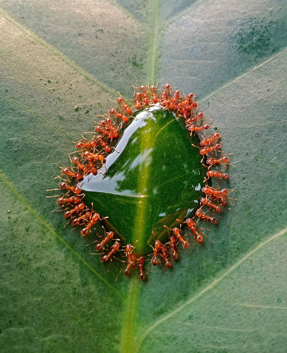 Thief ants consuming syrup on a leaf