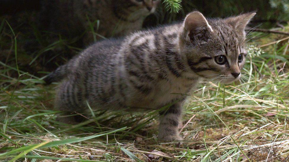 The male Scottish wildcat kitten stretching