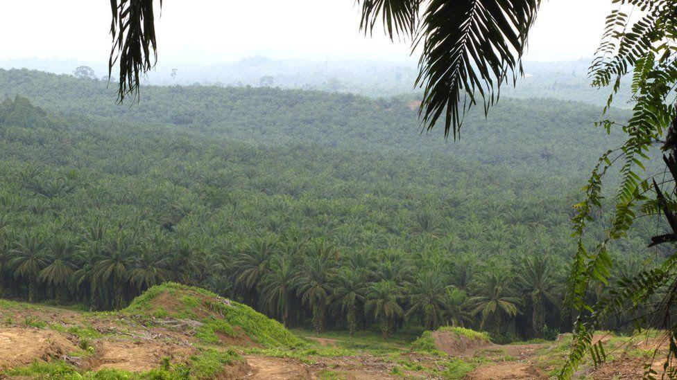Ulu Segama palm oil plantation