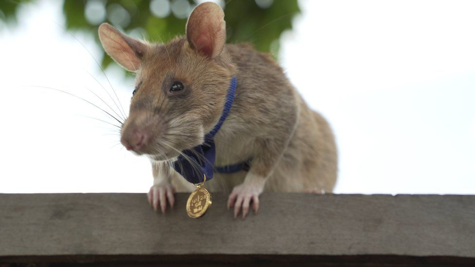 Magawa the landmine-detecting rat, wearing his specially-sized PDSA Gold Medal