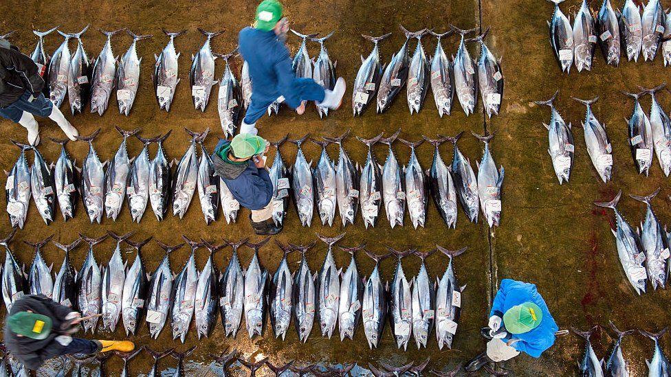 Buyers inspecting tuna at the tuna market in Katsuura on the Kii Peninsula, the premium tuna auction in Japan.