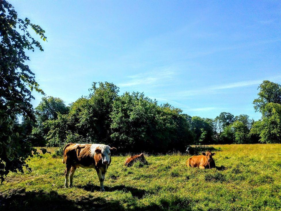 Cows at Kilmarnock