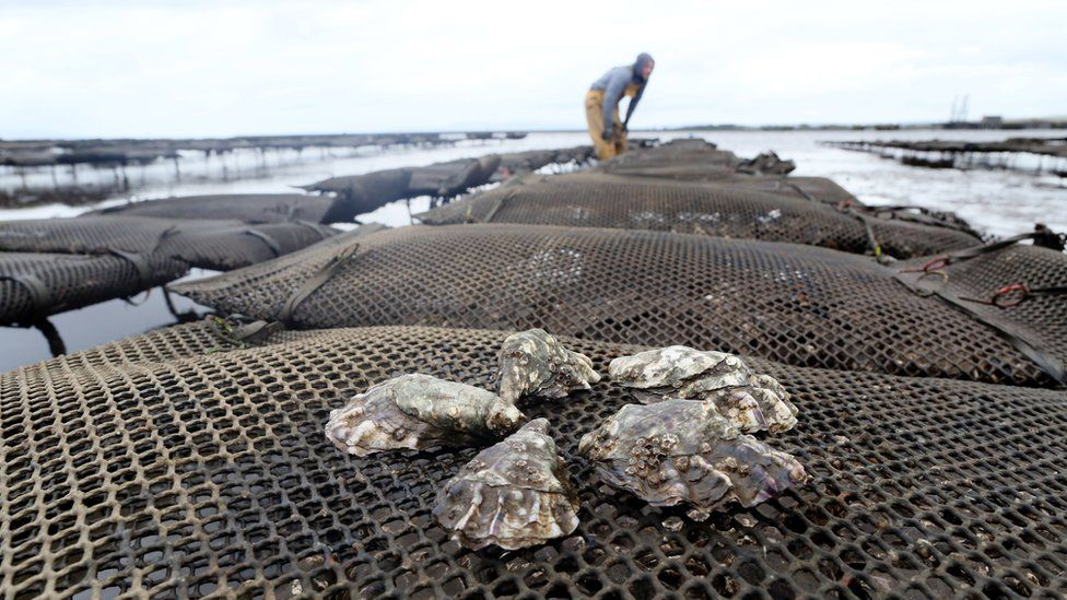 Oysters being farmed in Ireland