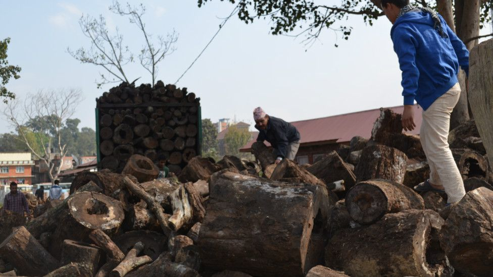 Logs to be sold by the government as firewood