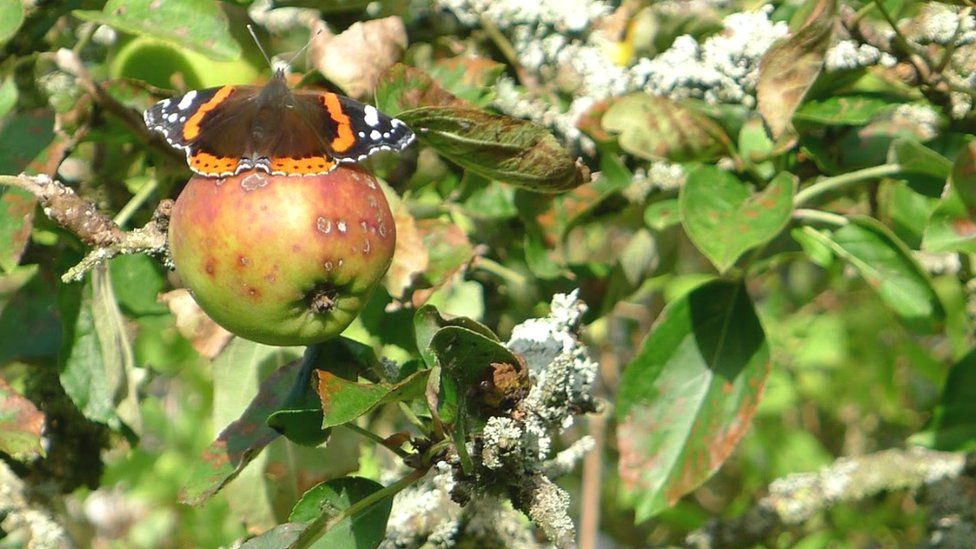 Butterfly on apple tree
