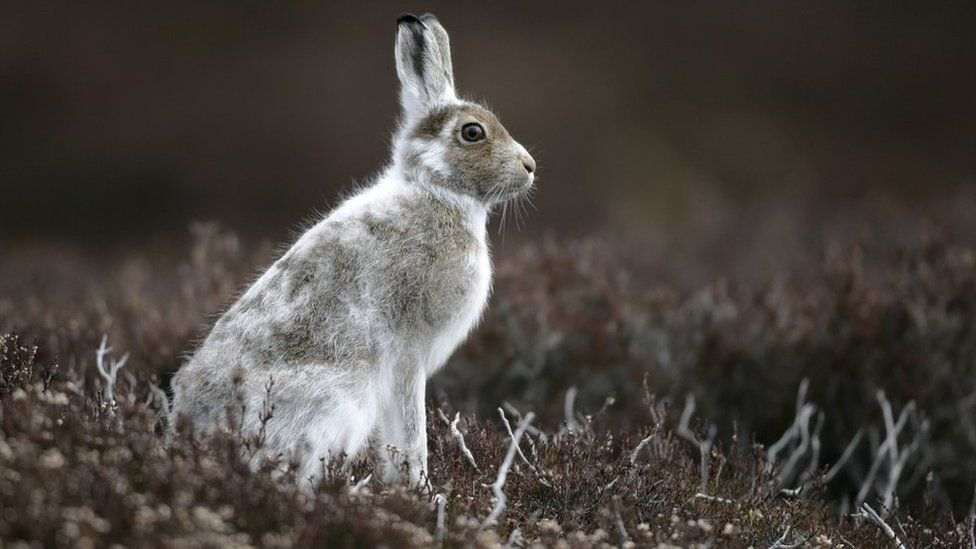 Call for immediate ban on hare culls in Scotland
