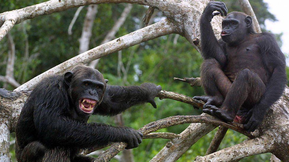 Chimpancés enojados