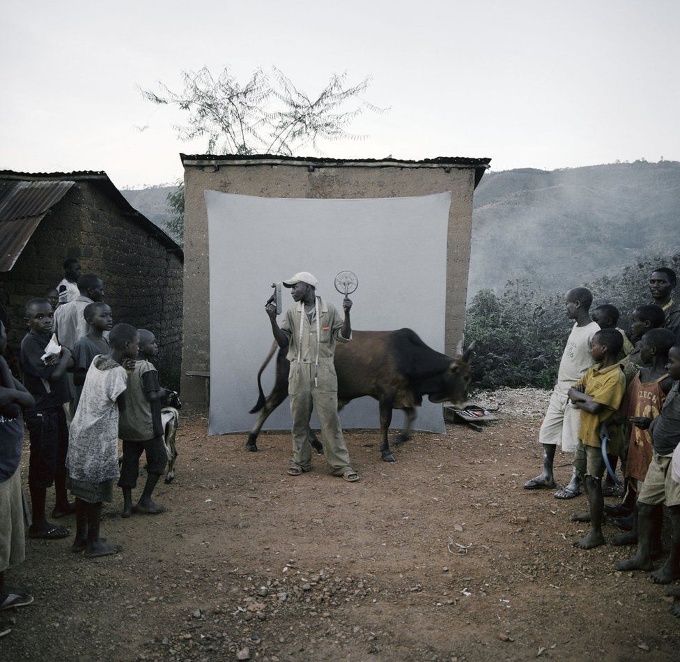 A cow passes in front of the backdrop whilst a shoot takes place.