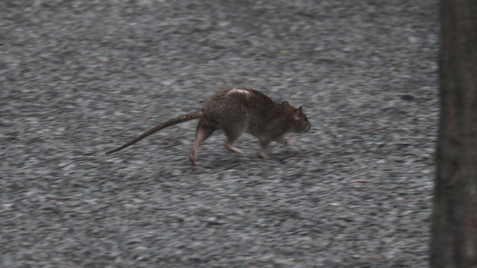 A rat runs along the ground of High Line Park on 22 September 2018 in New York City