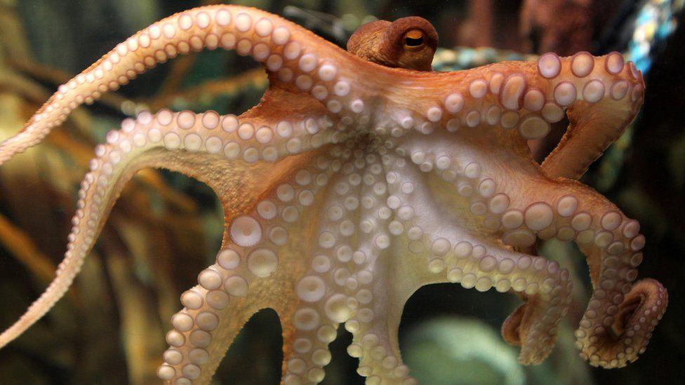 An octopus named Paul swims through his basin on June 25, 2010 at the Sea Life aquarium in Oberhausen, western Germany.