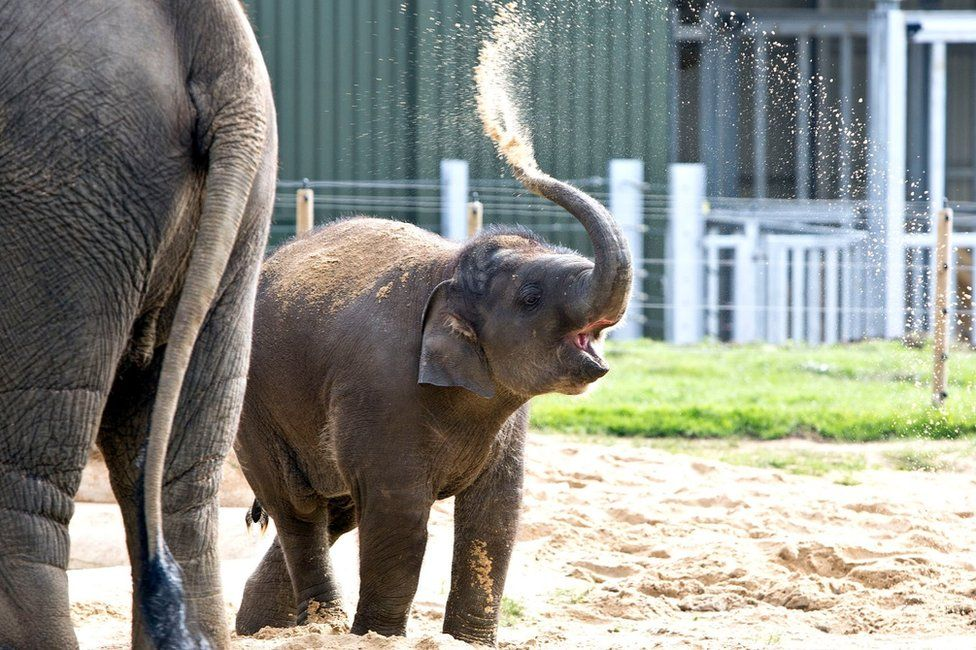 Some of the elephants at Whipsnade Zoo in Bedfordshire