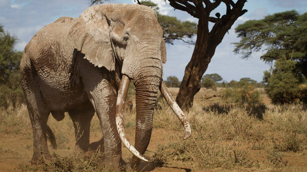 Tim the elephant