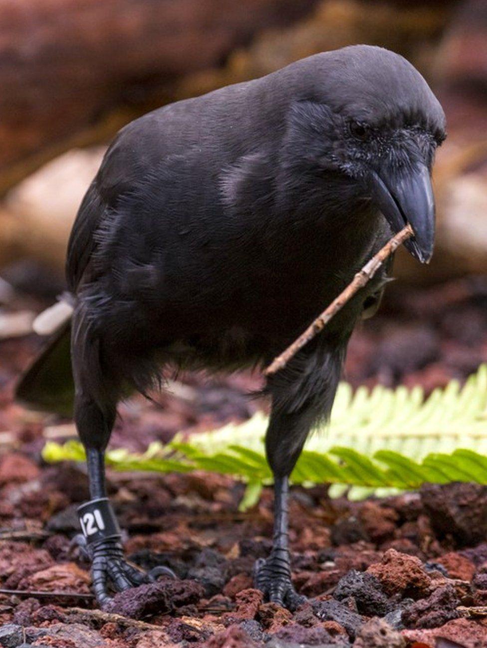 Hawaiian crow (c) Lisa Bissi/San Diego Zoo