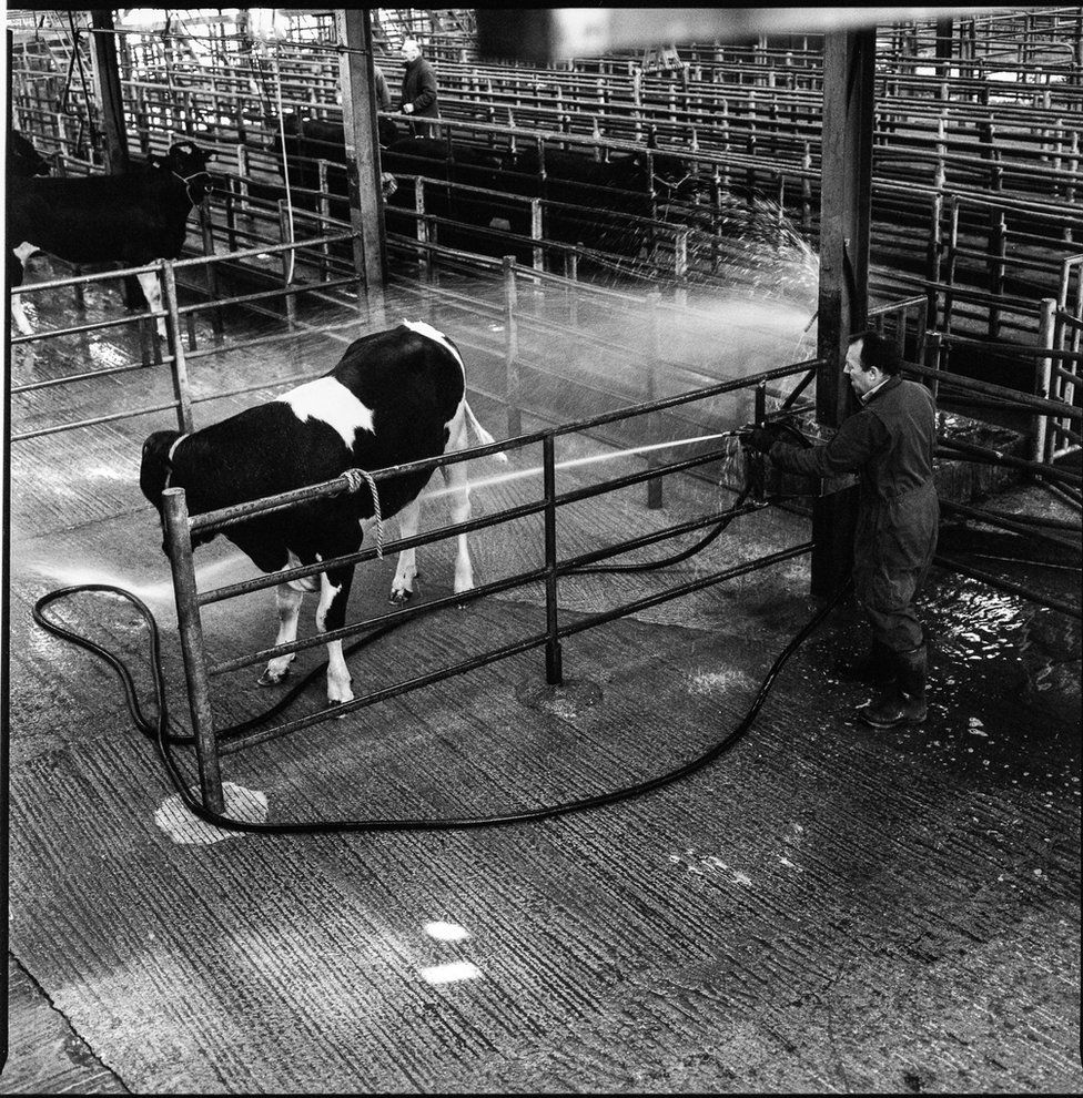 A man cleaning a cow with a hose