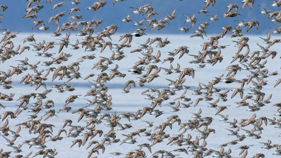 Birds migrating to the Arctic tundra