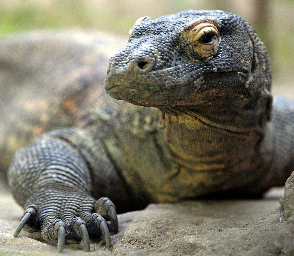 A Komodo dragon