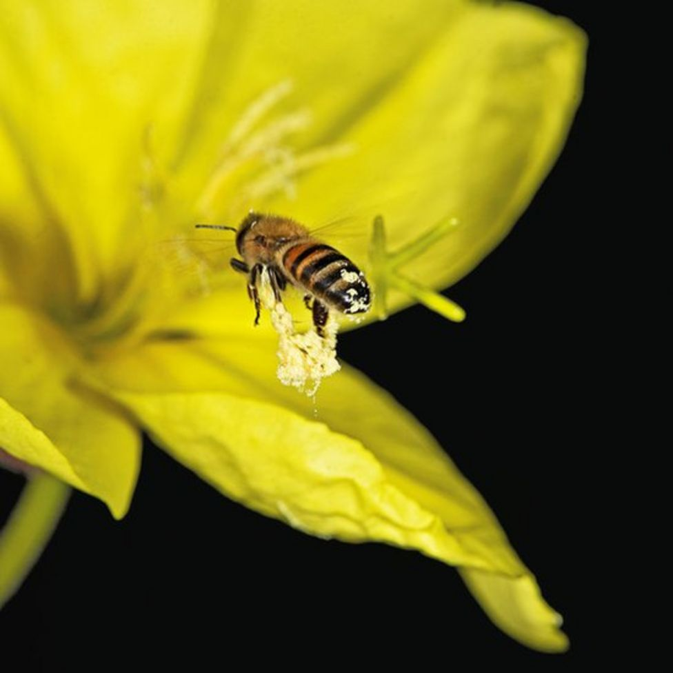 Campanilla de Invierno y abeja