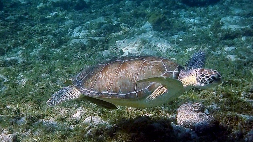 A green turtle at Grand Cayman