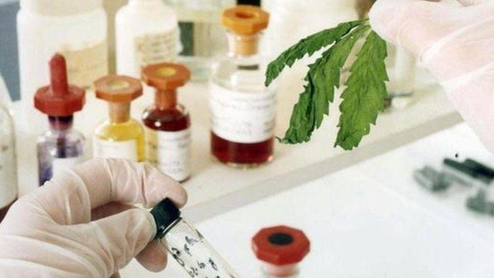 Cannabis in lab