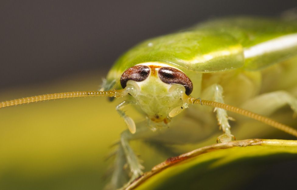 Green banana cockroach