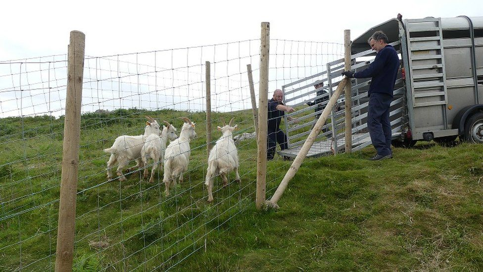 Rounding up the goats