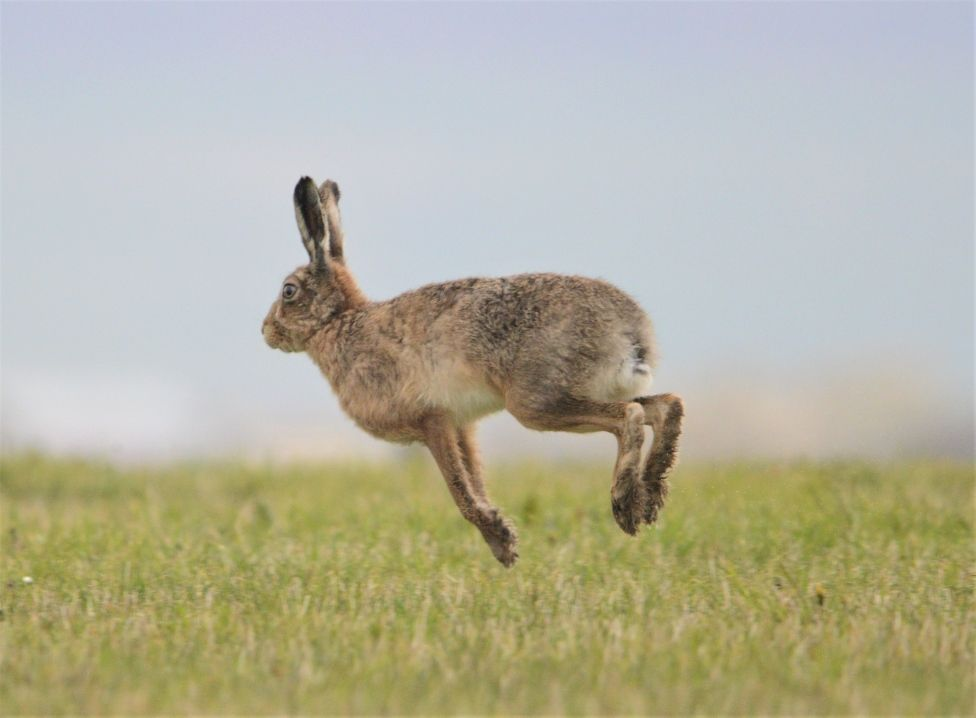 Ring of Brodgar hare