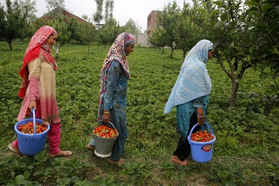 Kashmiri women carry buckets filled with harvested strawberries at a field on the outskirts of Srinagar, the summer capital of Indian Kashmir, 16 May 2017