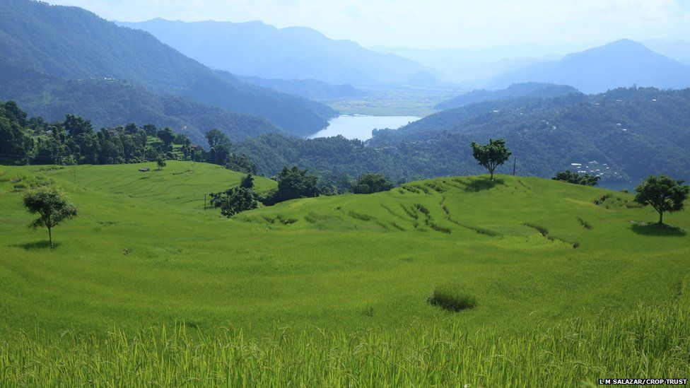 Rice grows wild in Nepal