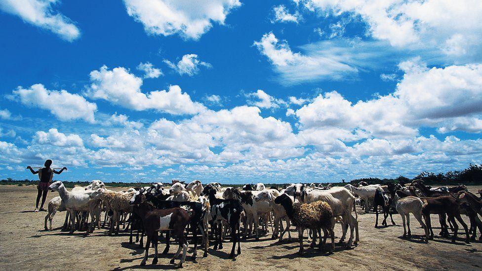 Shepherd with his flock of Macina sheep, Sahel, Mali, 5 March