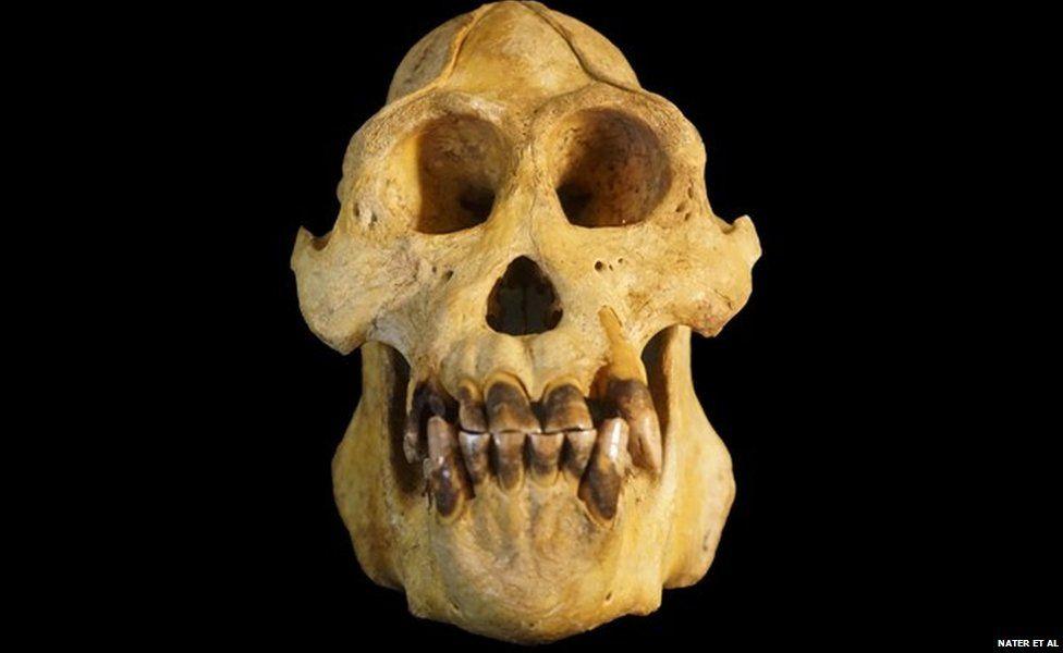 Skull of Tapanuli orangutan (c) Nater et al